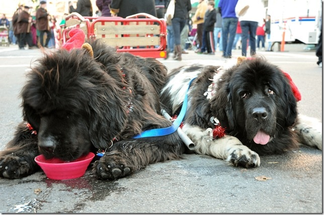 Victorian Stroll - Troy, NY - Newfoundlands on break