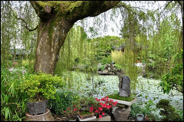Vancouver Chinese Garden - weeping willow