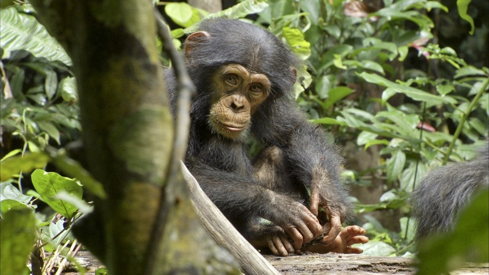 Chimpanzee – Lesson Plans Based On The Movie