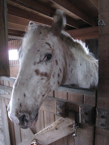 Equine Advocates Dallas the Apaloosa