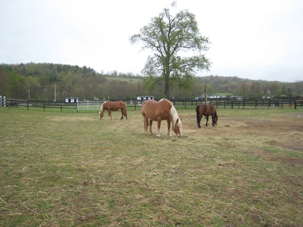Equine Advocates PMU Mares Rescued and Living Large