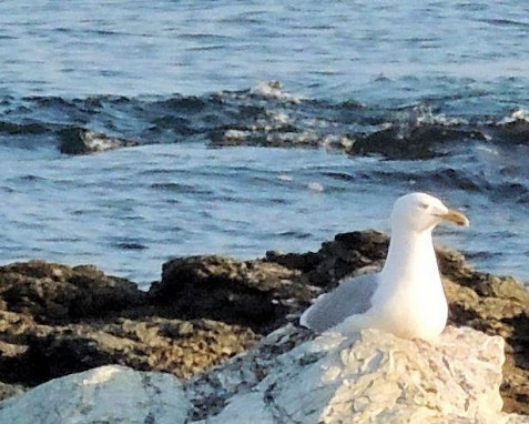 Seagull on a rock, Ocean Drive, Providence, RI