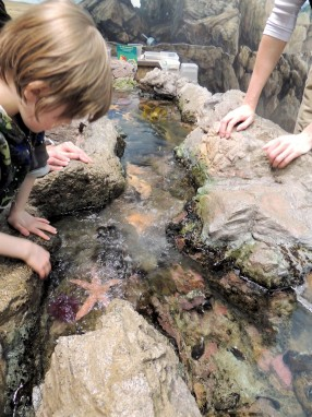 Starfish touch tank, New England Aquarium