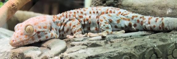 Gecko, Boston Museum of Science