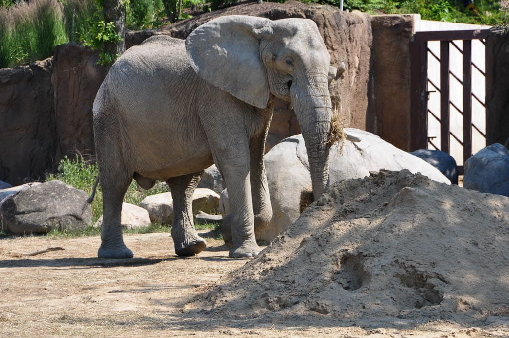 African elephant on the range in the Cleveland Zoo.