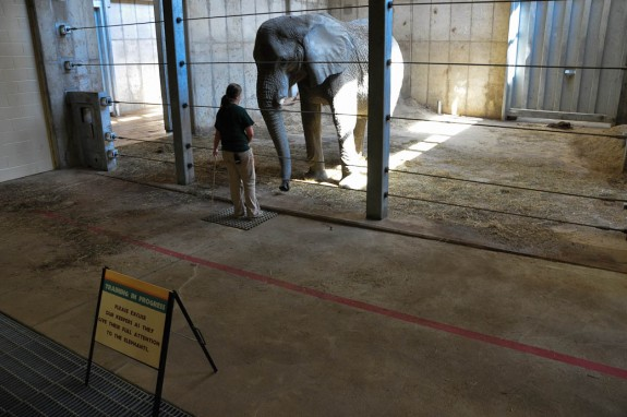 Elephant training at the African Elephant Crossing exhibit in the Cleveland Zoo.