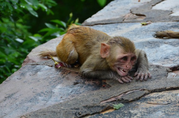 Angry baby rhesus macaque - Monkey Temple, Jaipur, India