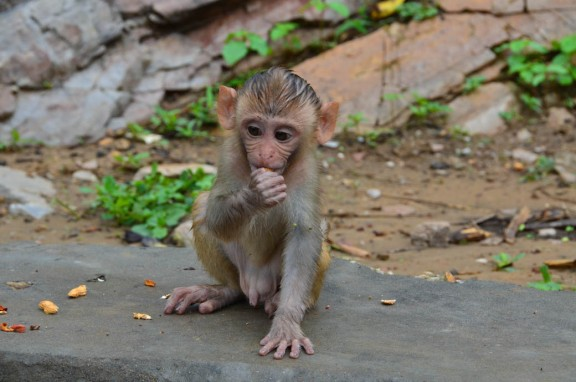 Baby rhesus macaque - Monkey Temple, Jaipur, India