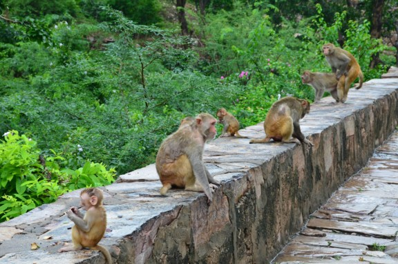Birds and bees and monkeys - Monkey Temple, Jaipur, India