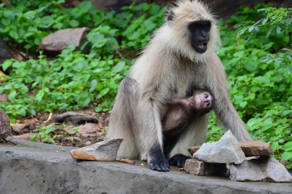 Gray langur monkey - mother and baby at the Monkey Temple in Jaipur, India