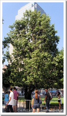 Survivor Tree, National September 11 Memorial, New York City