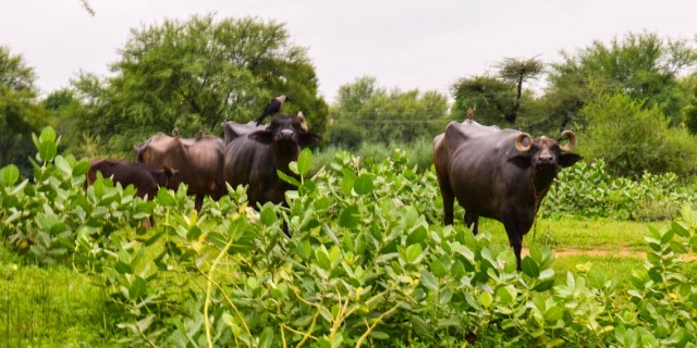 Water Buffalo - Jaipur, India