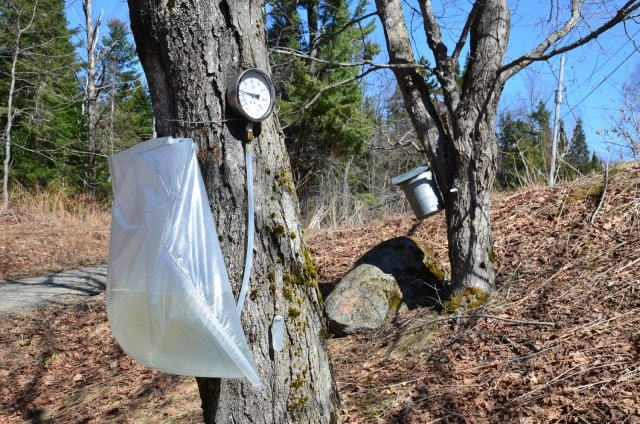 Plastic bags used for tapping sugar maples next to metal bucket.
