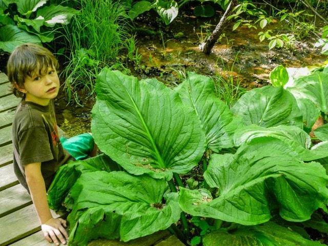 Albany Pine Bush - Skunk Cabbage